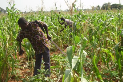Corn farmers in Mivakpo, 50km northwest of Togo's capital, Lomé.