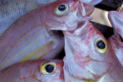 Fish now accounts for almost 17 per cent of the global population's intake of protein.