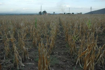 Drought in Uganda and most parts of the continent has hit farmers hard.