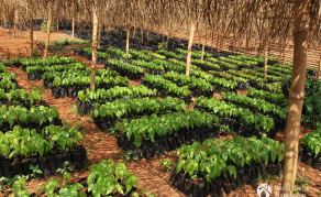 Breakthrough for Ghana's Cocoa Farmers