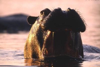 A Gouloumbou, dans la région de Tambacounda (Sénégal), le sommeil des populations est perturbé par des hippopotames qui sèment la pluie et le beau temps. Ils ont tué plus d'une vingtaine de personnes