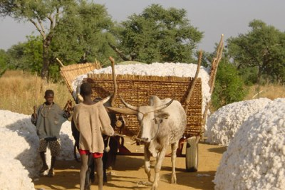 En route to Bobo Dioulasso, Burkina Faso. Young boy guides cattle and cart full of cotton harvest.