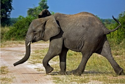 Junger Elefant im Murchison Falls National Park, Uganda (file photo).