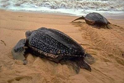 Des tortues marines