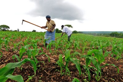 Smallholder farmers from Swaziland''s eastern Lubombo District are using conservation techniques to grow crops other than maize.