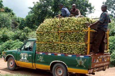 Transporting maize to the market.