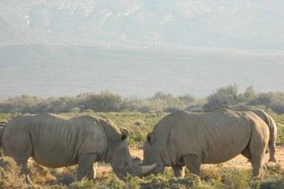 Des rhinocéros blancs en Afrique du sud
