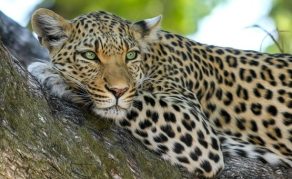 New Quotas Allow Leopard Trophy Hunting After Two-Year Ban