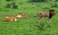 Tanzania Has Largest Number of Lions in Africa - Report