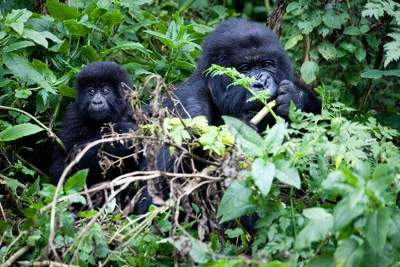 Gorillas are a tourist draw-card in East Africa (file photo).
