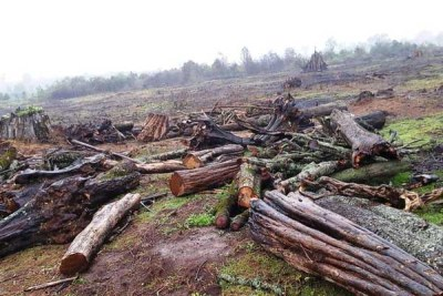 Trees cut in the Maasai Mau Forest.