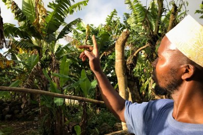 A farmer points to some of the banana trees dotting the steep hillsides in villages in Anjouan that used to burst with fruit but are struggling or dying due to changing weather and soil erosion.