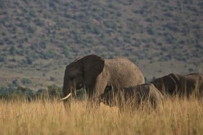 (Photo d'archives) - Les éléphants sont de plus en plus menacés au Congo et en Afrique dans sa globalité
