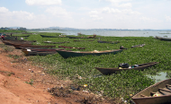 Invasive Water Hyacinth to Fuel Change for Kenya's Lake Victoria