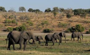 Botswana May Lift Ban on Hunting Elephants & Other Big Game
