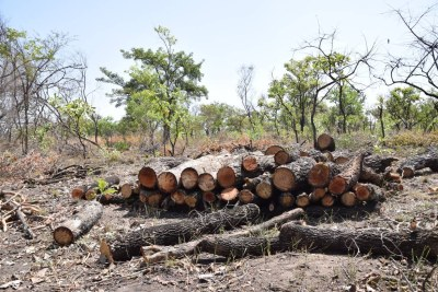 Logs felled by charcoal burners in Palaro, Gulu district, Uganda, February 13, 2019.