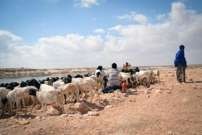Somalie, janvier 2017 : dans la région du Puntland, la sécheresse a endommagé les cultures et tué du bétail. La sécheresse en 2019 menace 2 millions de personnes dans le pays.