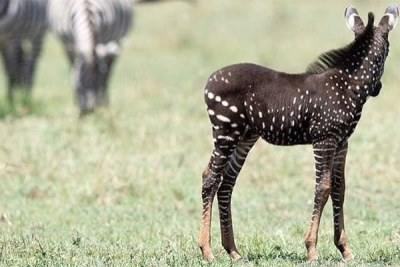 The dotted zebra foul which has been spotted in the Maasai Mara Game Reserve causing excitement among tourists.
