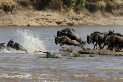 Wildebeests jump to cross the Mara River during their migration to the greener pastures, between the Maasai Mara game reserve and the open plains of the Serengeti, southwest of Kenya's capital Nairobi (file photo).