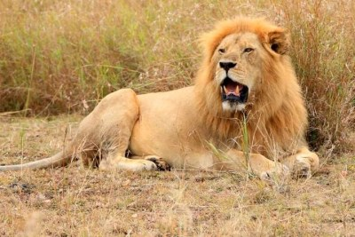 A lion rests inside Maasai Mara National Reserve (file photo).